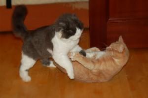Как контролировать игровую агрессию, направленную на другого кота
