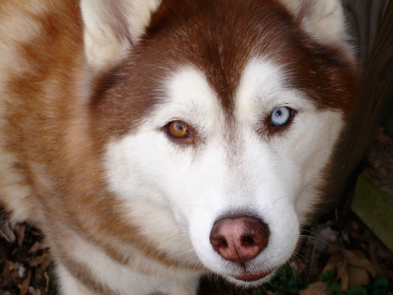 Why Is It So Common For Huskies To Have Heterochromia