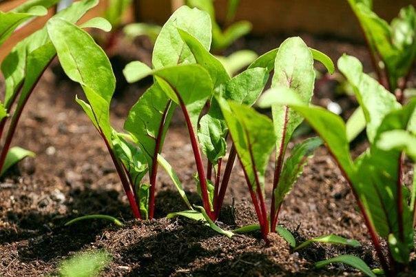 Дачный лайфхак: особенности выращивания свеклы