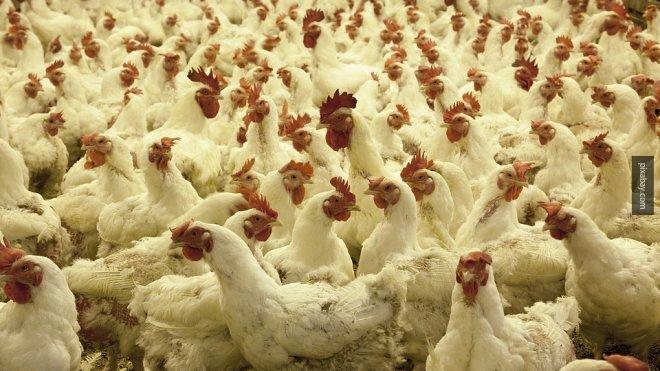 Евросоюз ограничил поставки мяса птицы из России