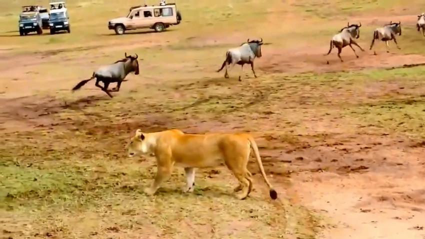 Разница льва и львицы с принятием решения