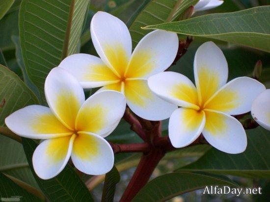 Цветок плюмерия фото