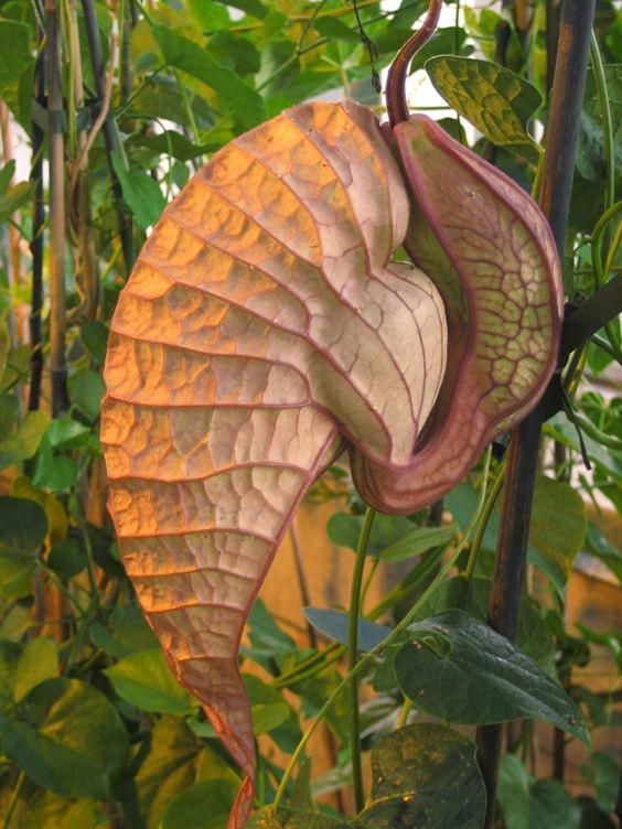 Он же - Кирказон крупноцветковый (Aristolochia grandiflora) красота, особенные, природа, растения, флора, цветы