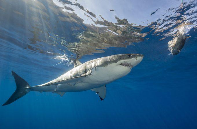 9 интересных фактов о акулах