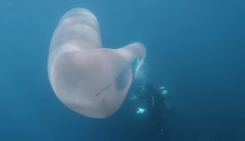 «Оживший целлофановый мешок» озадачил дайверов у побережья Новой Зеландии