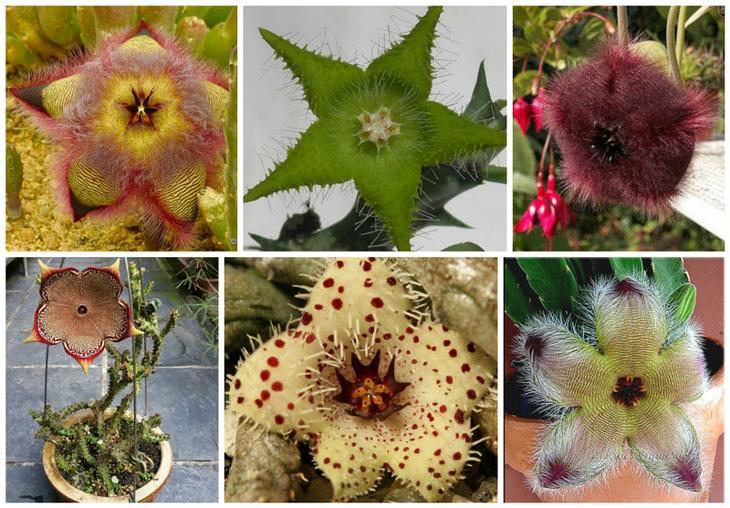 Стапелии, суккуленты. Красота, но предупреждаем - они страшно воняют гнилым мясом и когда цветут, мухи в них откладывают личинки красота, особенные, природа, растения, флора, цветы