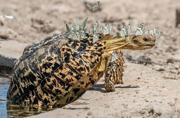 Черепаха «превратилась» в стегозавра