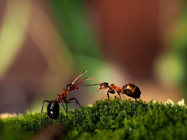 лесные муравьи