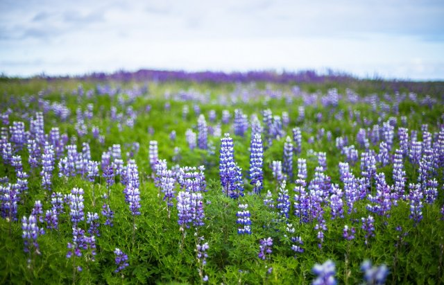 fantastic lupine nature during icelandic trip at summer time