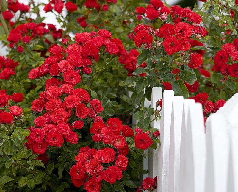 Цветы и заборы