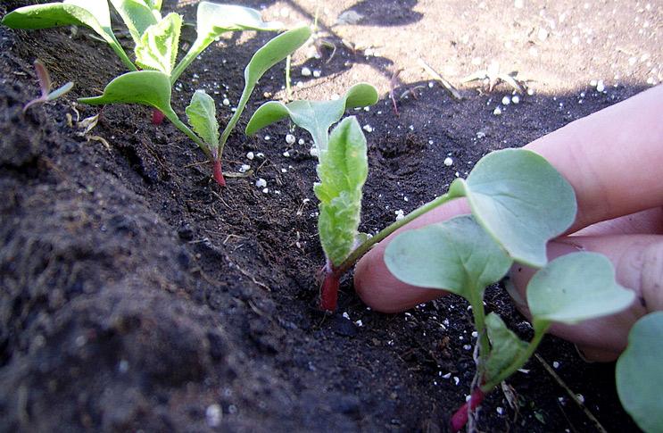 Выращивание редиса и щавеля в тени деревьев