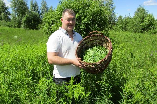 Как правильно собирать, ферментировать и пить иван-чай. Советы фермера