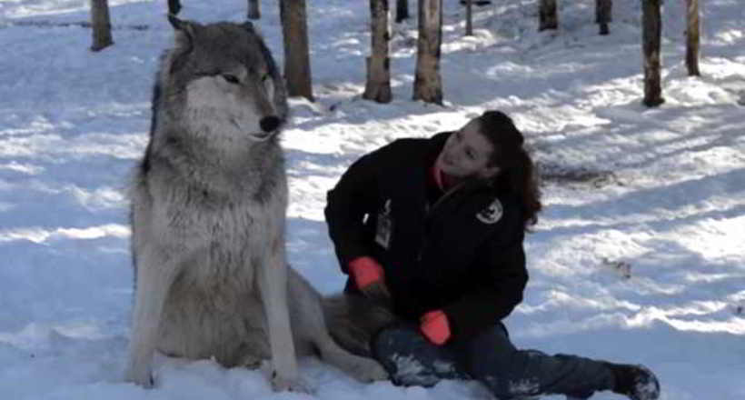 Видео: Огромный волк сел в лесу рядом с девушкой