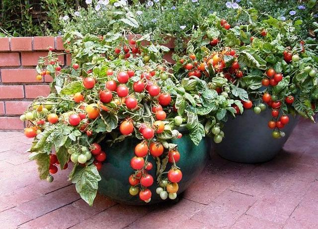 Вместо цветов – томаты. Все о выращивании помидоров в контейнерах