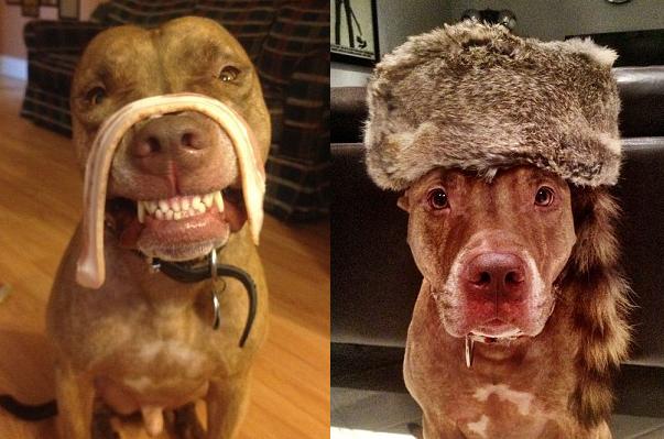 Собачья жизнь: питбуль Скаут носит на голове всякую всячину