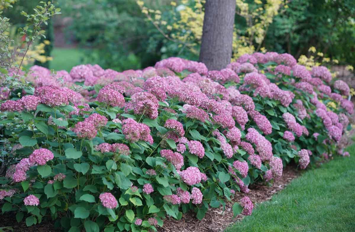 Красивоцветущие кустарники - фото и названия