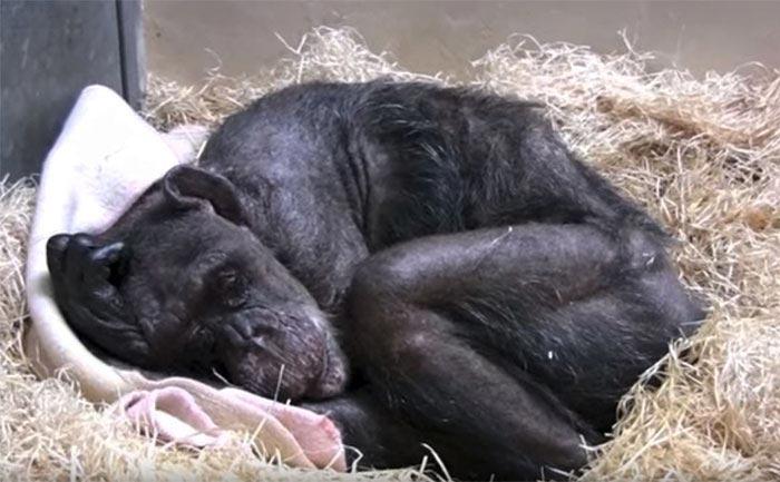 59-летняя шимпанзе потеряла интерес к жизни, она отказалась от еды, и смиренно ждала неизбежного! Но когда услышала голос старого друга….