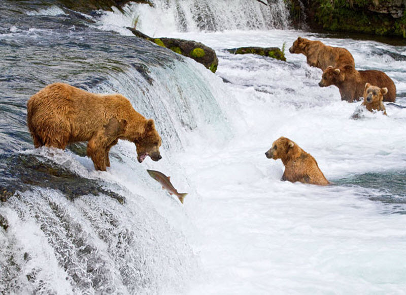 Медведи на рыбалке. Фото
