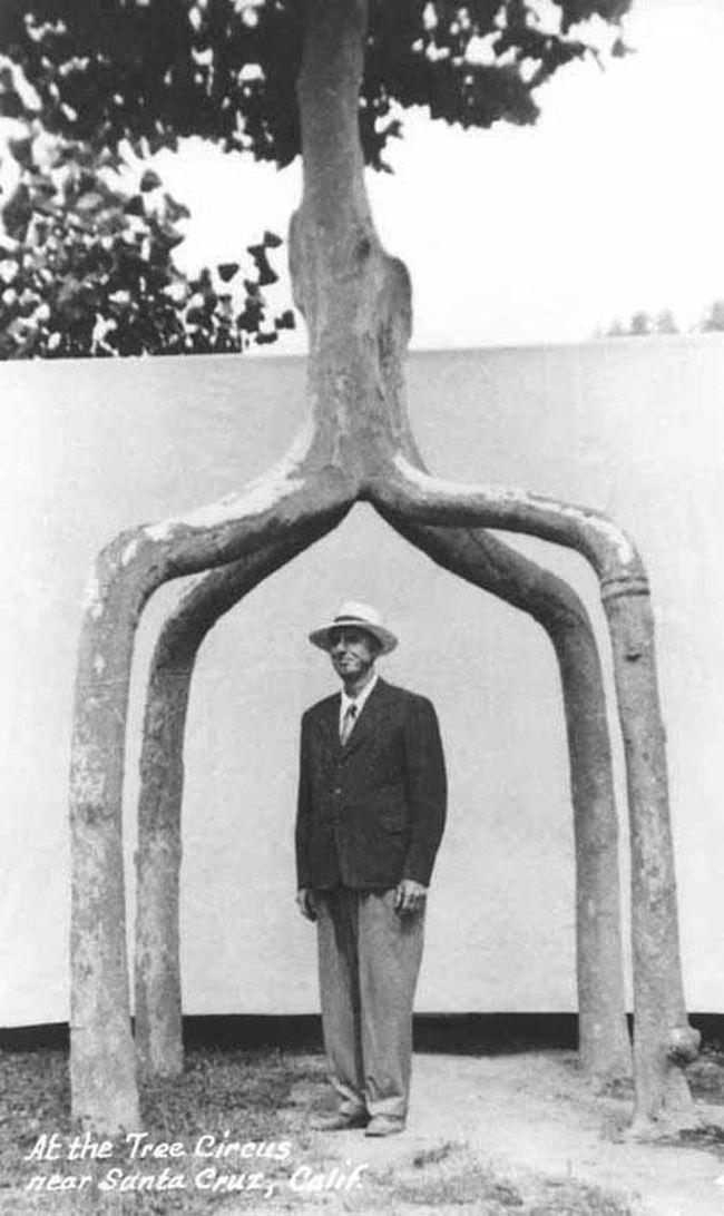 А вот и сам Аксель и почти дерево-беседка… Этому увлечению – и саду около дома, и Цирку – Эрландсон посвятил 40 лет. Он создал просто выдающиеся скульптуры из живых деревьев. Когда же его спрашивали, как у него вырастали такие шедевры, он часто отвечал что-то вроде -