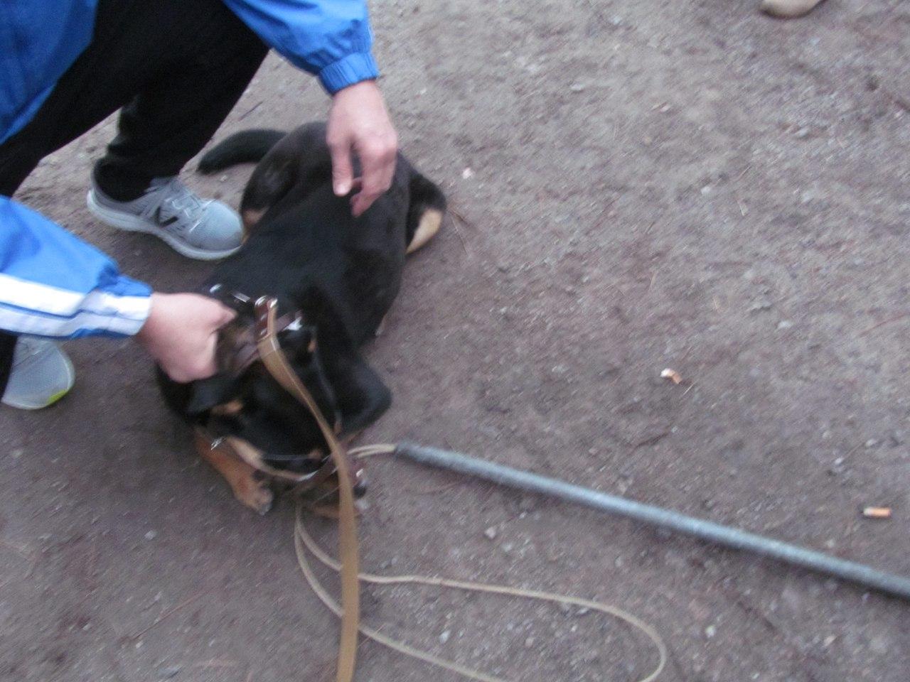 «Мы любим свою собаку! Её нужно пристрелить!» Ротвейлер напал на хозяев — но вскоре стало ясно, что собака не при чём…