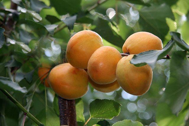 Абрикос из косточки. Есть ли шанс вырастить дерево в Центральной России?