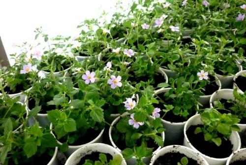Когда сеять на рассаду бакопу — тонкости выращивания ампельного цветка