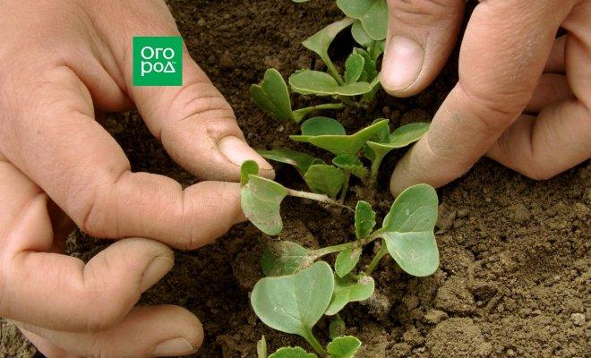 : Прореживание овощных культур