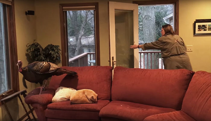 Гостье очень понравился диван, и она спокойно расхаживала по нему Миннесота, гостья, дом, животные, история, отпуск, семья, случай