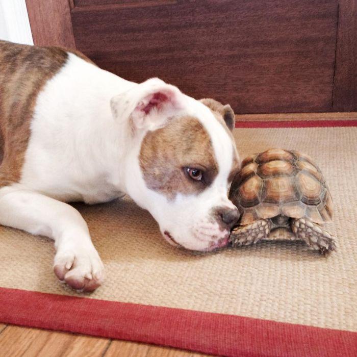 Самая неожиданная на свете дружба – между собакой и черепахой