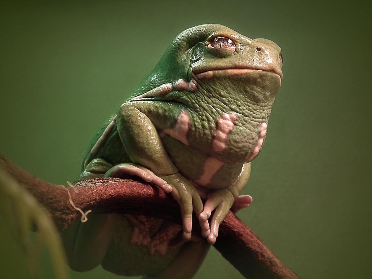 Жаба Хатт
