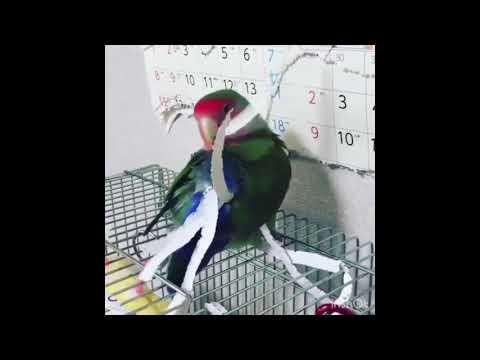 Хозяйственный попугай
