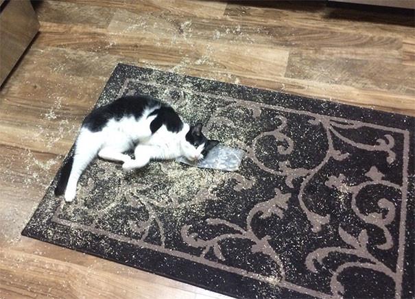 Дебошир животные, забавно, изменение сознания, кошачья мята, кошки, растения, смешно, фото