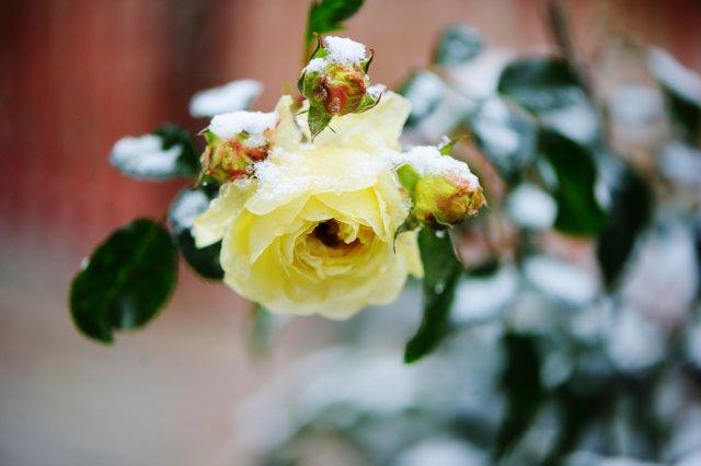 роза под снегом