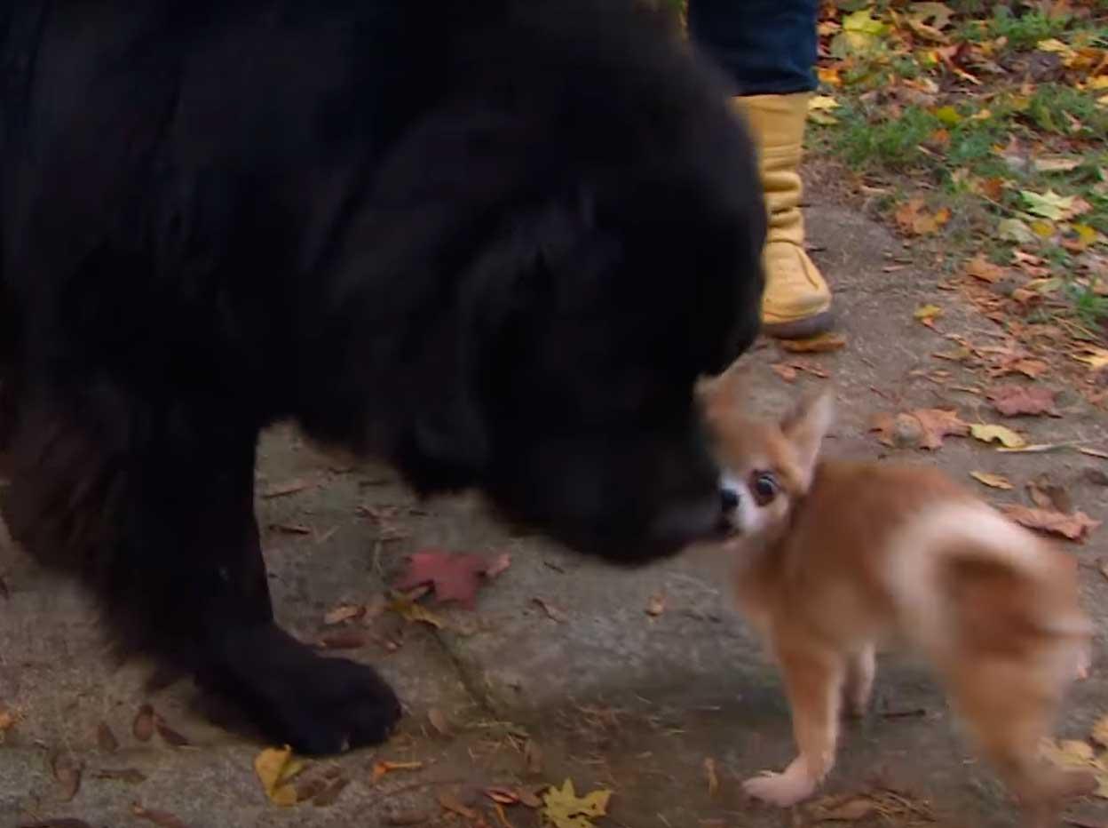 Этот очень маленький чихуахуа сумел спасти своего огромного старшего брата ньюфаундленда