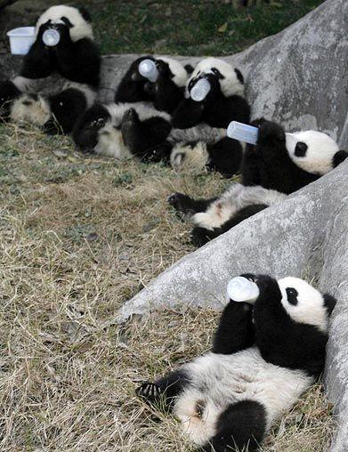 Маленькие панды пьют молоко - потрясающе мило