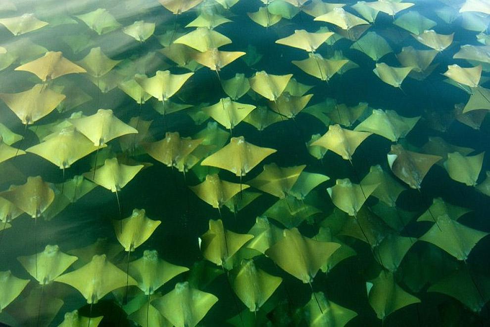 4157 Миграция золотых скатов