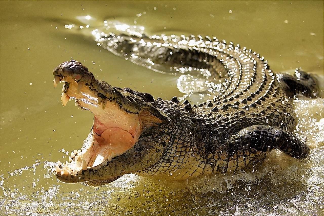 Как охотятся крокодилы