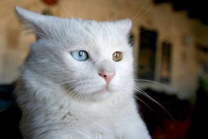 Heterochromia24 Разноглазые кошки