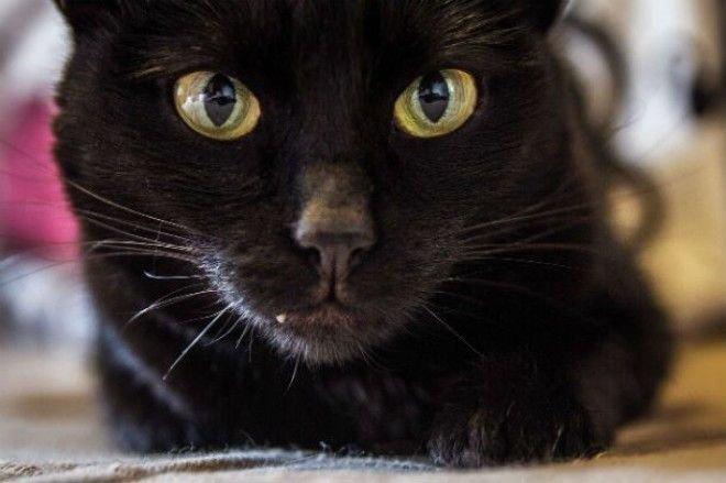 Черные кошки и хорошая генетика животные, коты, факты