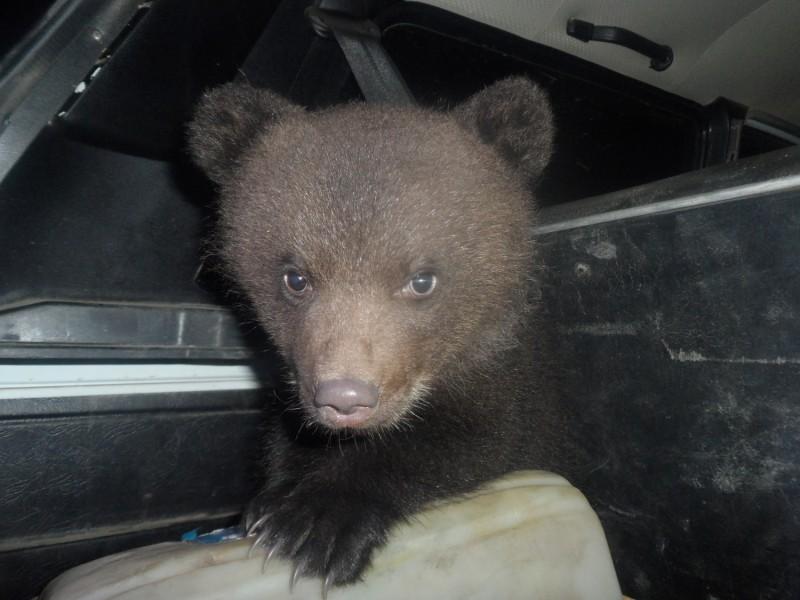 В Коми полицейские приютили медвежат, брошенных в коробке на трассе