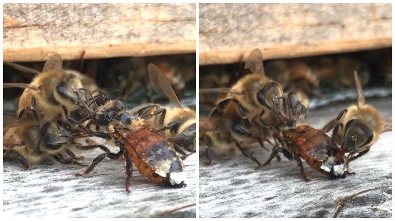 Потому что они банда: пчелы очищают испачкавшуюся соплеменницу