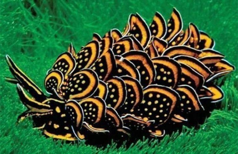 Черно-золотой морской слизень