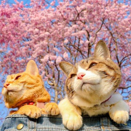 Кошки-путешественницы Даикити и Фуку-тян, которых владелец взял к себе на работу, чтобы вместе ездить в командировки