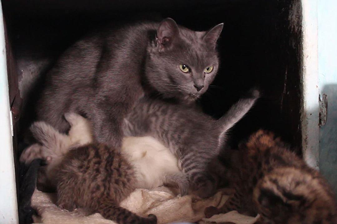5 диких дальневосточных котят  «усыновила» обычная кошка. И живут они все теперь в печке!