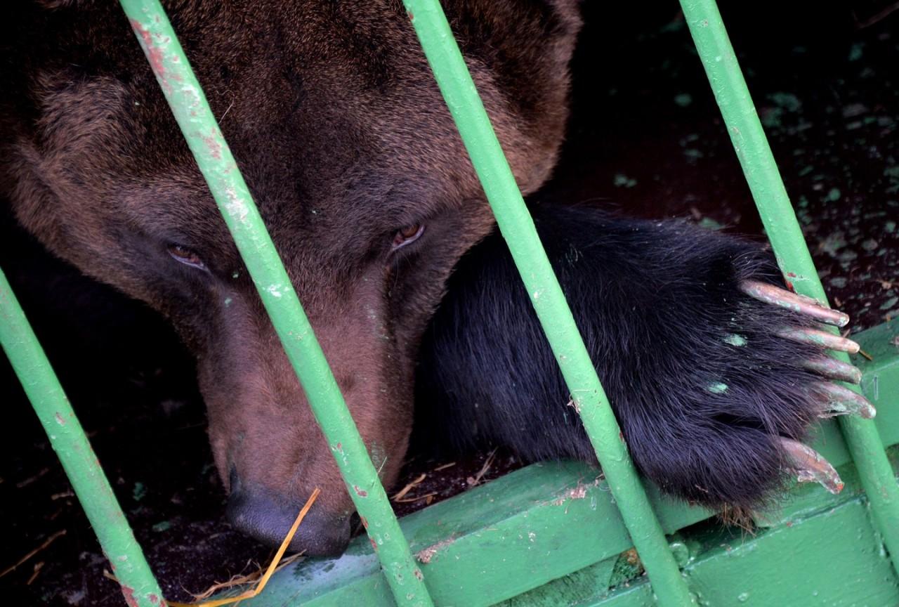 Цирк уехал, животные остались. Артисты с Украины бросили в Самаре медведей