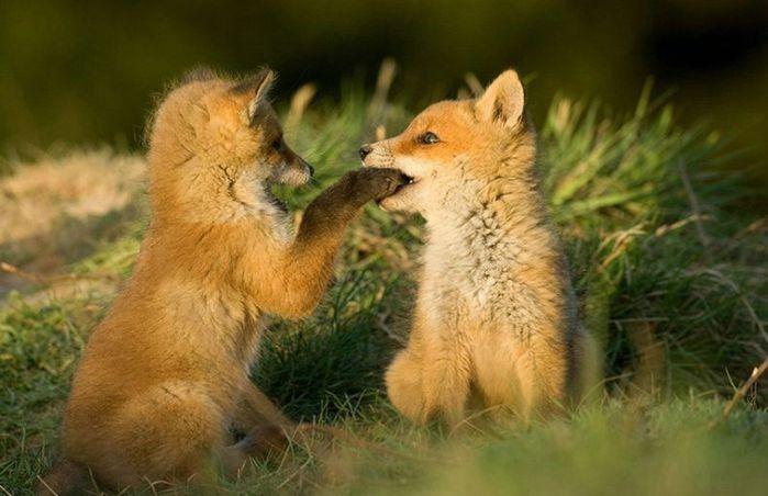 fox_20120409_00640_008 (700x500, 50Kb)