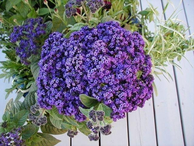 Однолетники для Вашего сада, цветущие все лето