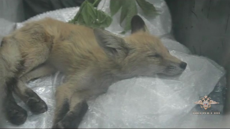 На Урале спасли лисенка, который застрял в гаражах