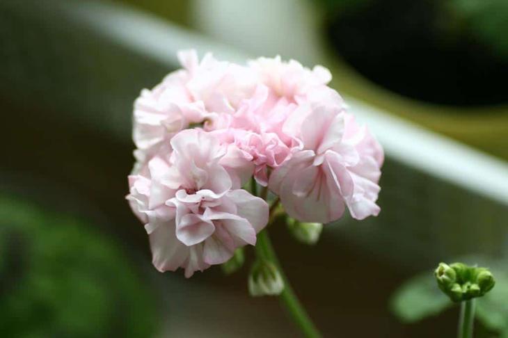 Выращивание герани: полезные качества цветка