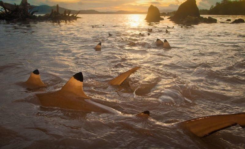 Рифовые акулы на Соломоновых островах животные, искусство, планета земля, природа, фото, хрупкость